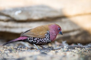 Pink-throated twinspot m
