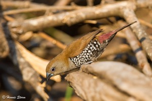 Pink-throated Twinspot f