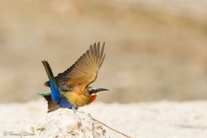 White-fronted Bee-eater just before take off