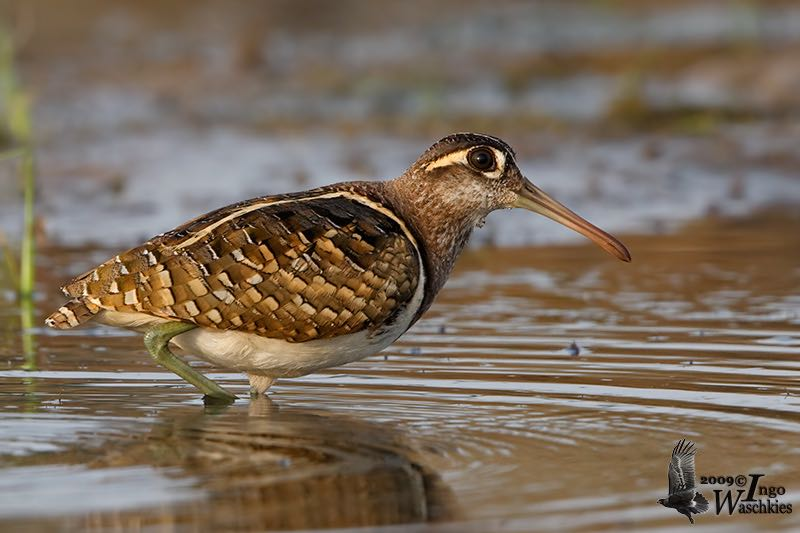 Greater Painted-Snipe male