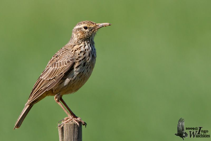 Agulhas Long-billed Lark