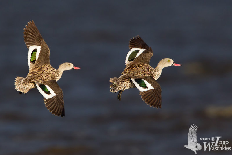 Cape Teals in flight
