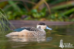 Hottentot Teal male