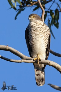 African Goshawk  female