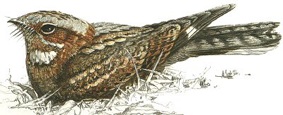 Fiery-necked Nightjar - enlarge