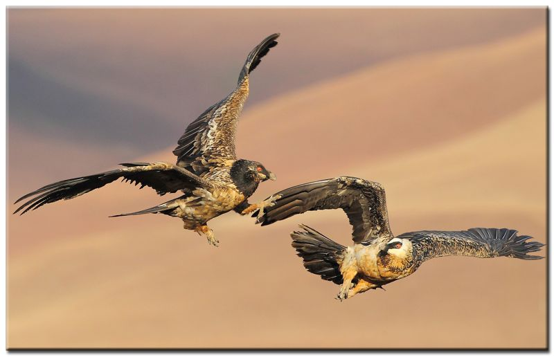 Bearded-Vultures