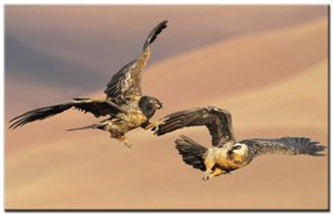 (119) Bearded-Vultures