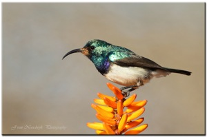 (787) White-bellied Sunbird