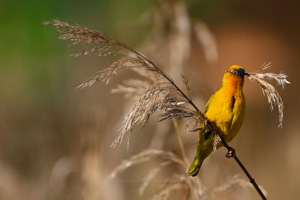 Cape Weaver with nesting material