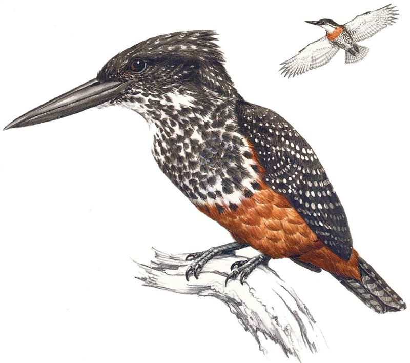 Giant Kingfisher female