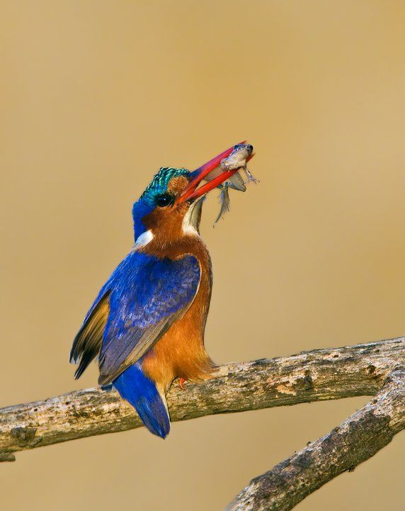 Malachite Kingfisher with frog