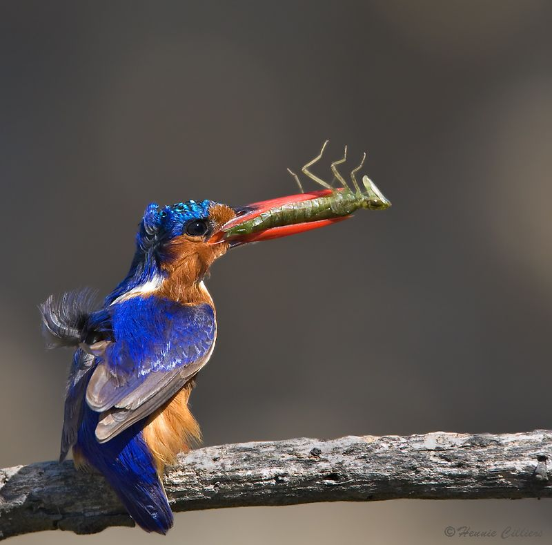 Windswept Malachite Kingfisher with a nymph of a dragonfly