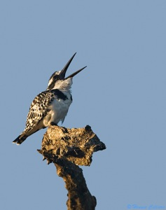 Pied Kingfisher protesting