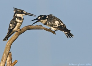 Pied Kinfisher pair