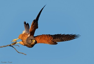 Rock Kestrel