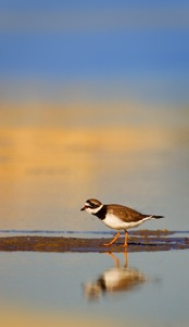 Common Ringed Plover (Breeding)