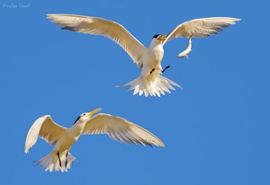 'Aerial Combat' - Swift Tern