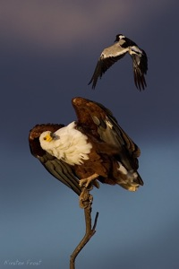 African Fish-Eagle (mobbed by Blacksmith Lapwing)