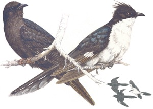Black Cuckoo and Jacobin Cuckoo