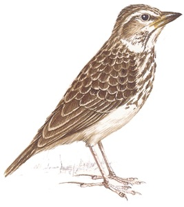 Large-billed Lark