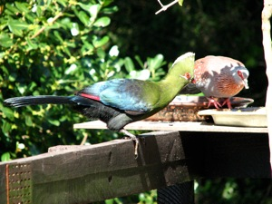 Knysna Turaco and Speckled Pigeon