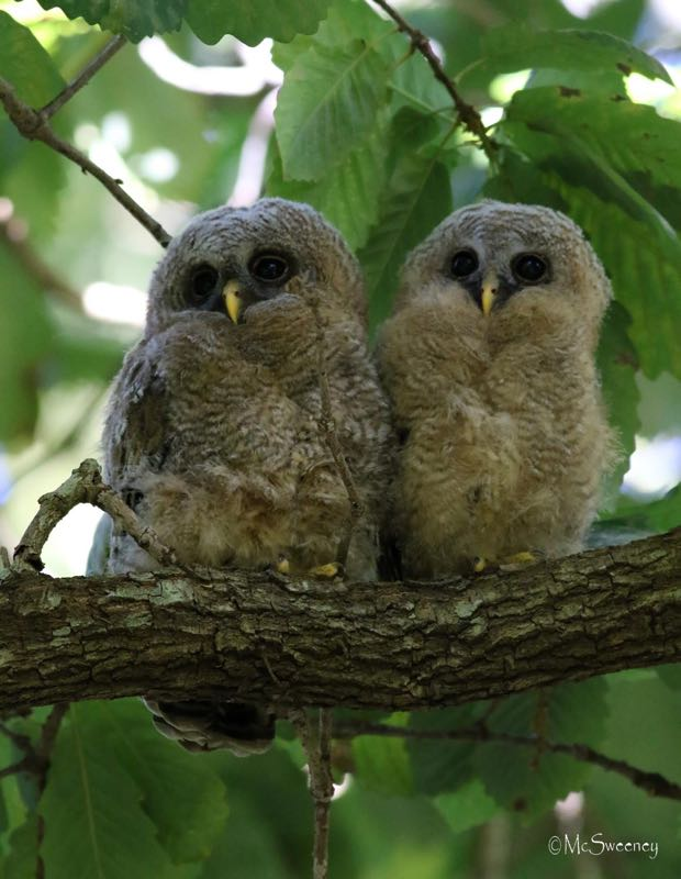 Wood Owl chicks