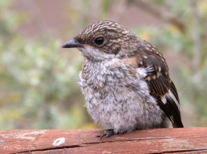 Fiscal Flycatcher (Juv)