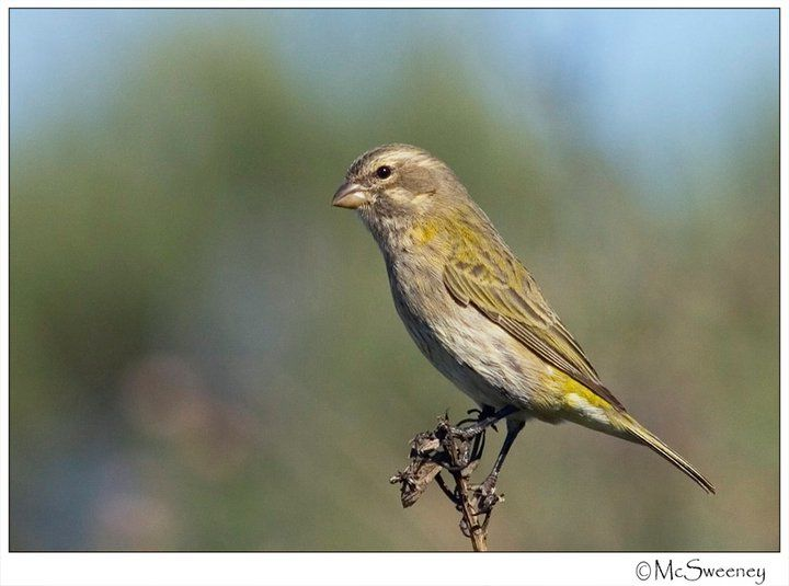 Yellow Canary female