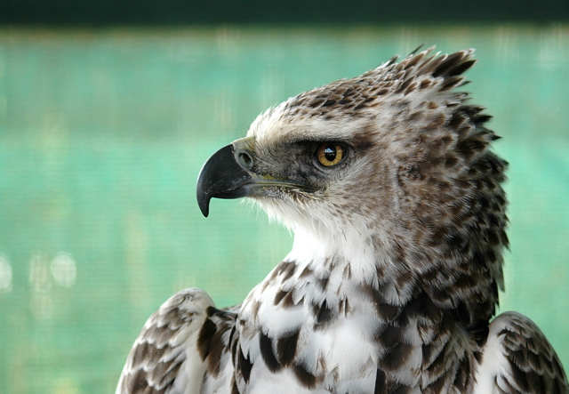 Martial Eagle imm.