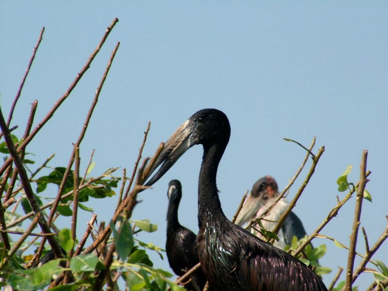 African Openbill and Marabou