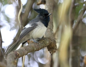Blue-mantled Crested-Flycatcher