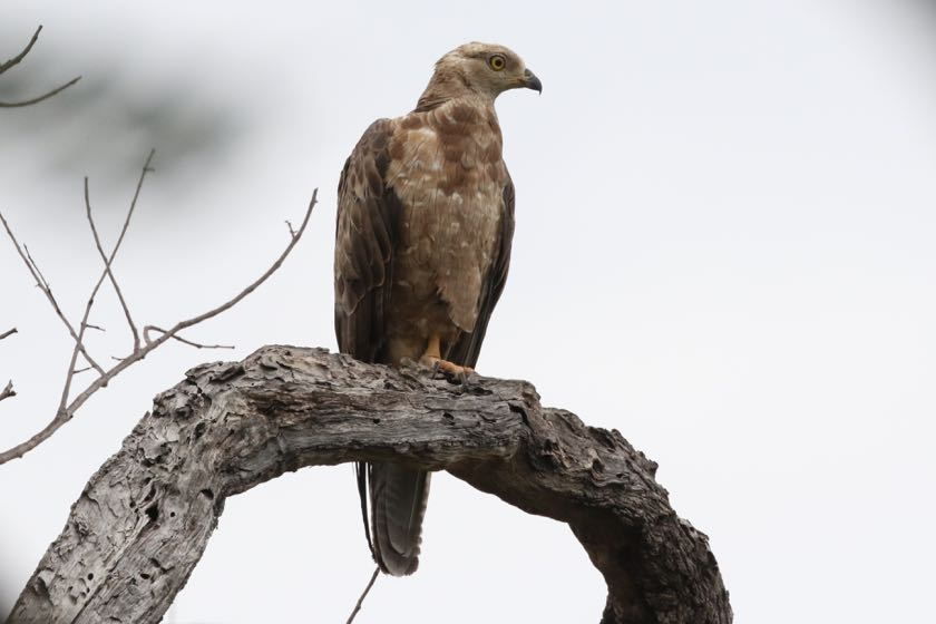 European Honey-Buzzard