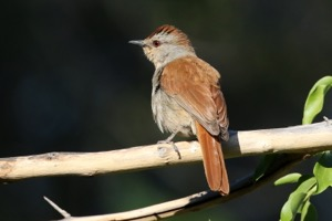Rufous-tailed Palm-Thrush