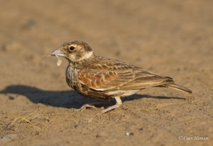 Chestnut-backed Sparrowlark female