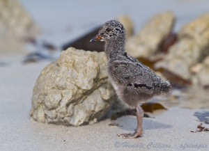 African Black Oystercatcher chick