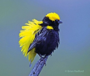 Yellow-crowned Bishop