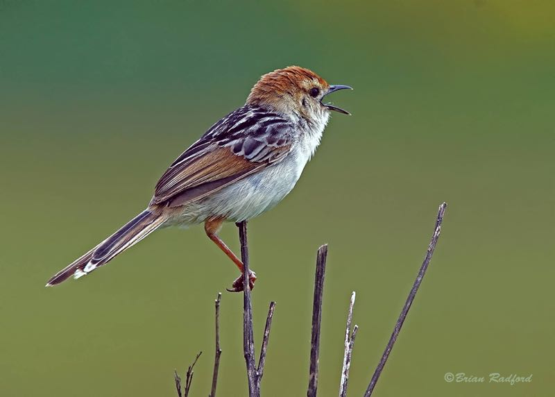 Levaillant's Cisticola singing his heart out