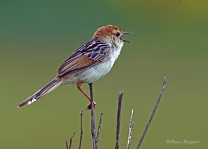 Levaillant's Cisticola singing