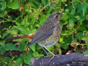 Cape Robin-Chat (juvenile)