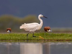 Little Egret and African Jacana