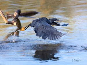 A quick launch by a Black Heron