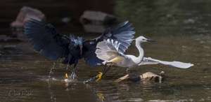 A spat between an angry Black Heron and a Little Egret