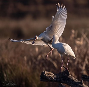 A spat between two African Spoonbills