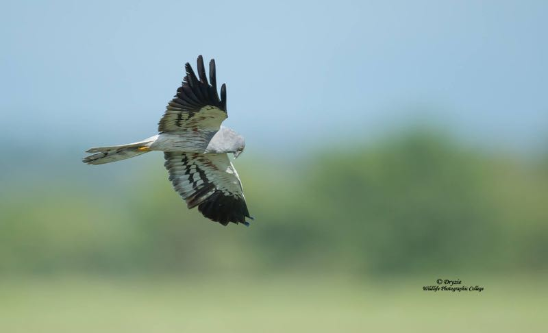 >Montagu's Harrier