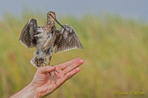 Releasing the African Snipe