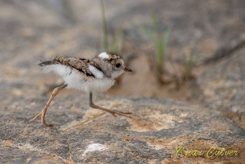 Three-banded Plover chick