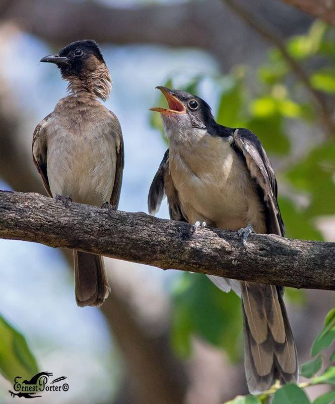 Dark-Capped Bulbul feeding Jacobin Cuckoo