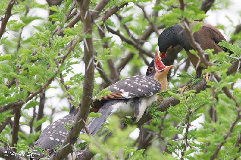 Common Myna feeding a Great Spotted Cuckoo