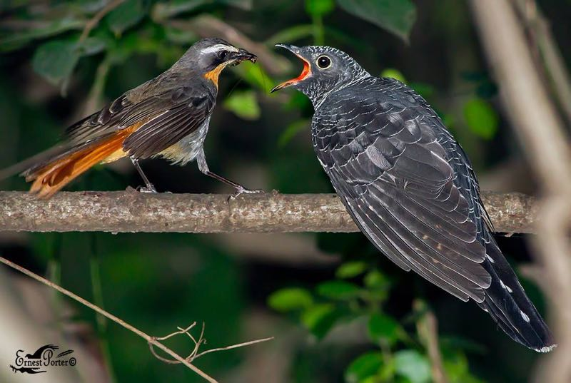 Cape Robin-Chat feeding Red-Chested Cuckoo