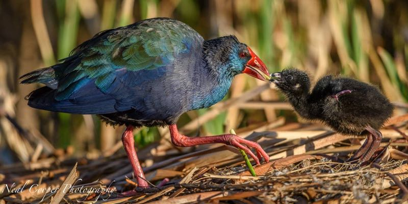 African Purple Swamphen with chick